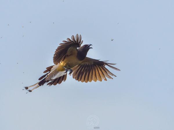 Tree Pie - making like a flycatcher!...