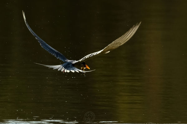 River Tern - with fish for breakfast....