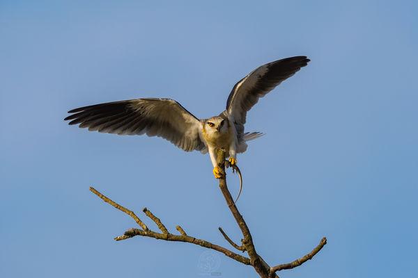 Black Shoulder Kite - Reptile meal....