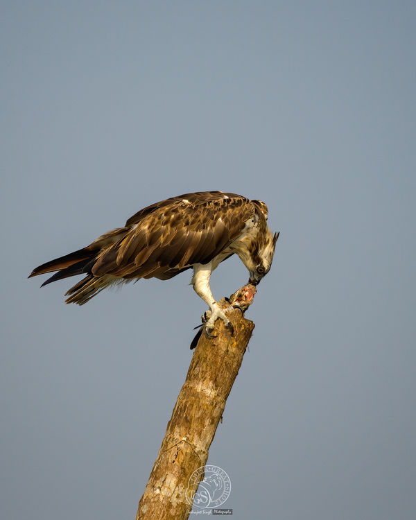 Osprey and fish....