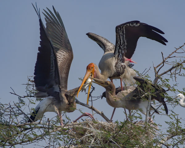 Painted Stork - regurgitating a meal for the young...