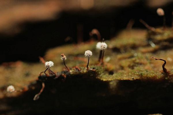 or maybe dandelion mushrooms...
