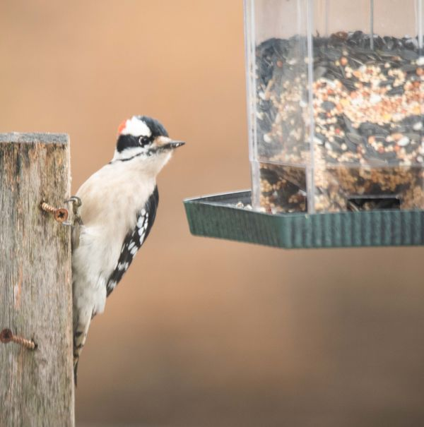 Small Woodpecker.  I'm not sure which species....