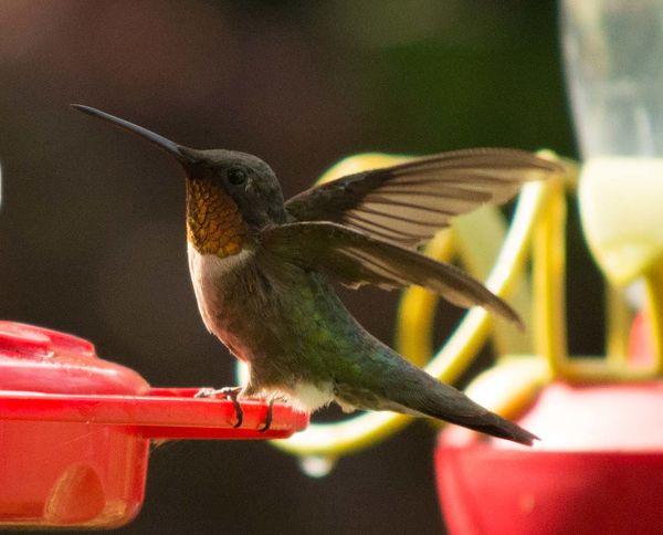 Male Ruby Throated Hummingbird...