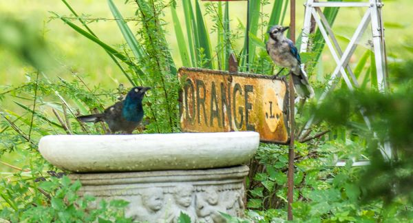 Grackle and BlueJay.  Bluejay waiting it's turn fo...
