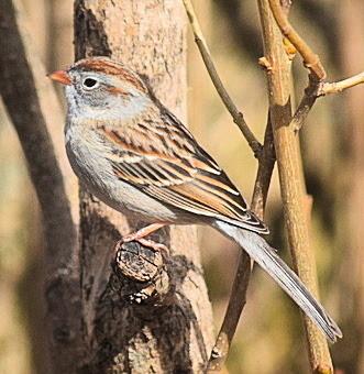A Field Sparrow...
