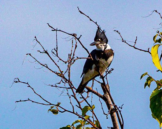 Kingfisher relaxing...
