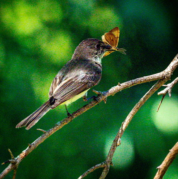 Eastern Phoebe with a bug in a dark tree.  She's f...