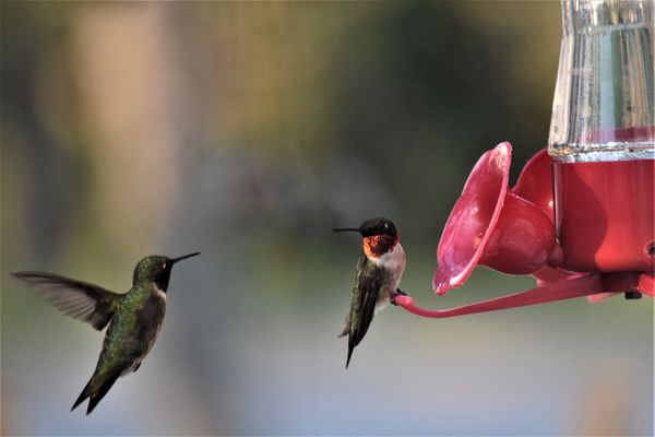 two Ruby-throated Hummingbirds...