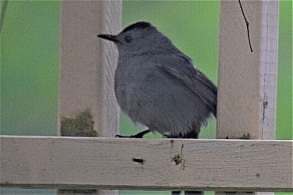 A Grey Catbird...