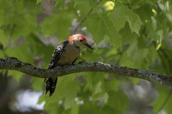 Red bellied woodpecker...
