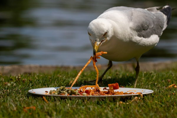 Everybody loves spaghetti, even the ring billed gu...