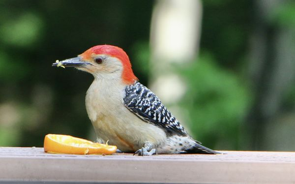 Red Breasted Woodpecker on our deck rail...
