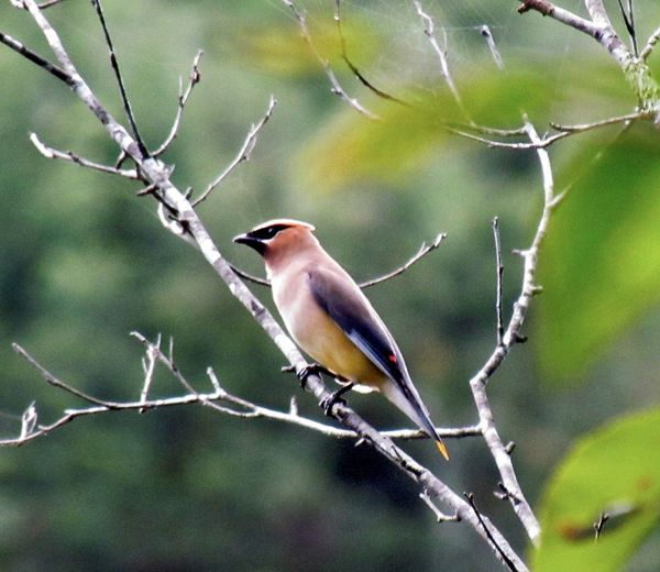 cedar Waxwing up high in our trees...
