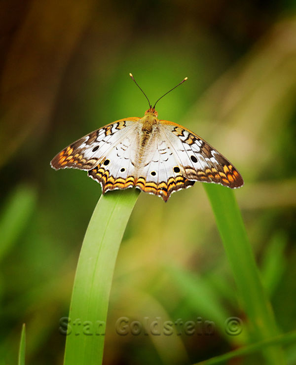 Small Butterfly...
