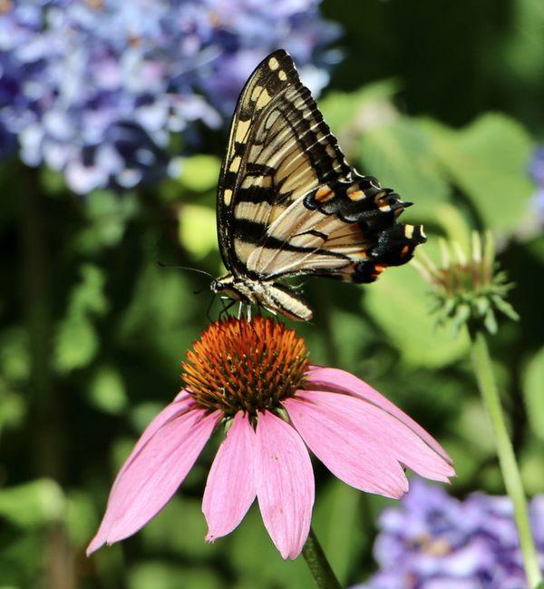 Monarch in my garden...