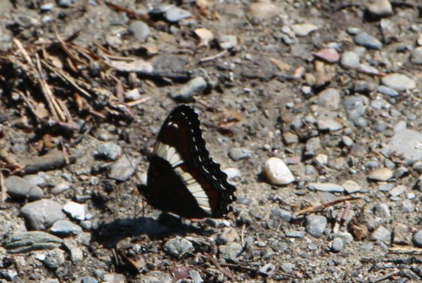 Admiral Butterfly-at daughter's Vt. driveway...