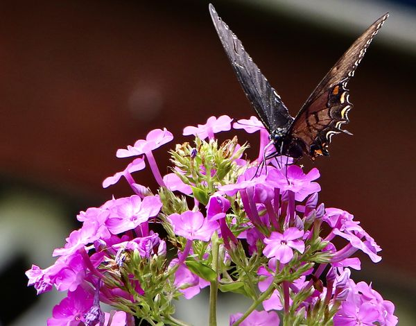 Black Swallow tail -my garden...