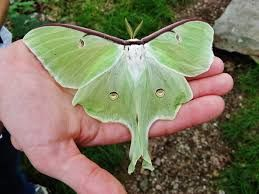 A Luna moth -couldn't find my photo of this one-...