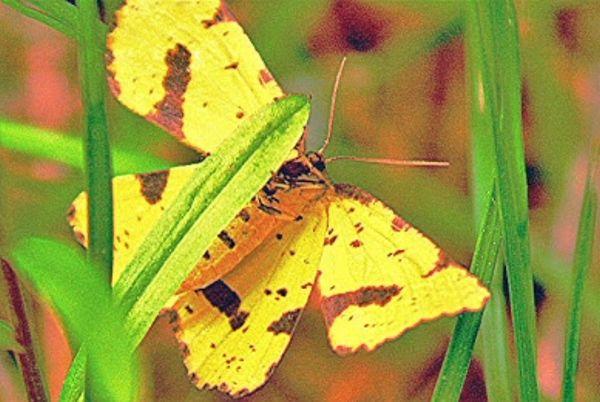 A False Crocus Geometer moth...