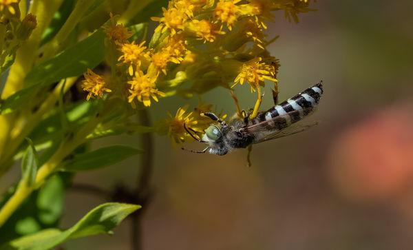Sand Wasp...