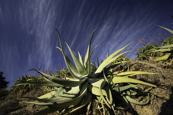 One of my favorite Aloes...