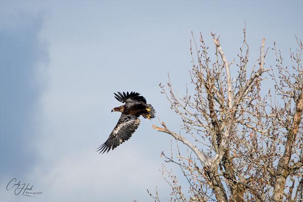 Juvenile take off...
