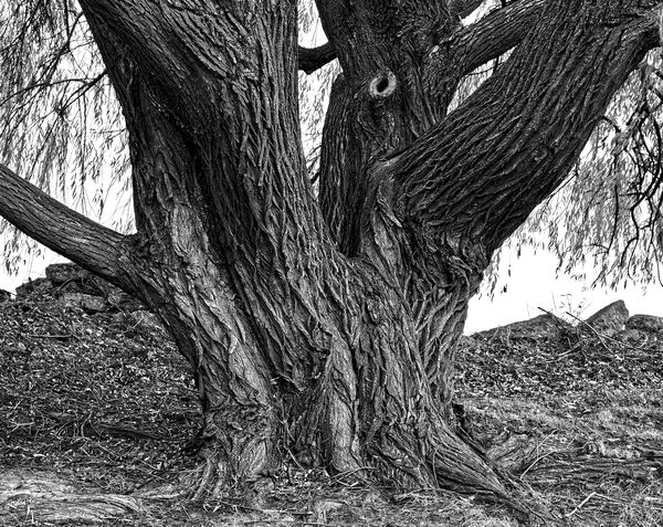 #1  Willow tree at the Edsel & Eleanor Ford Histor...