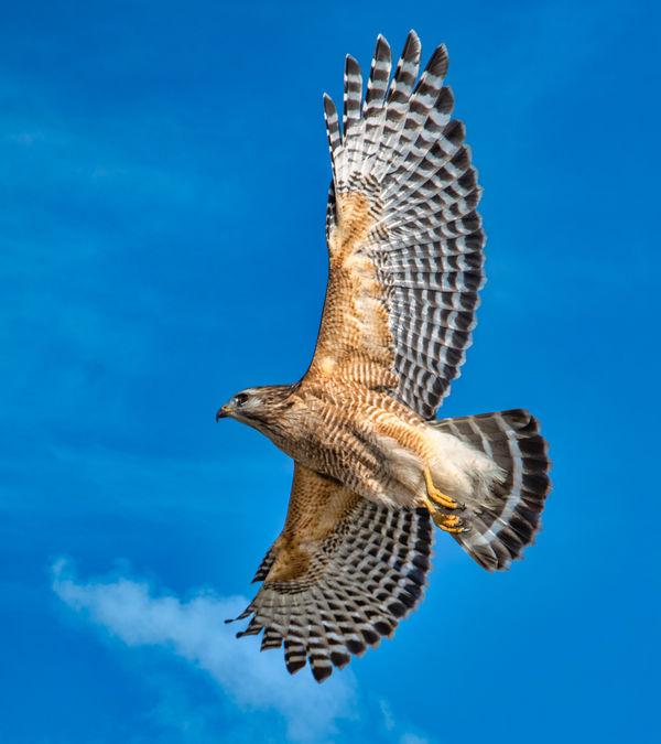 Red Shouldered Hawk...