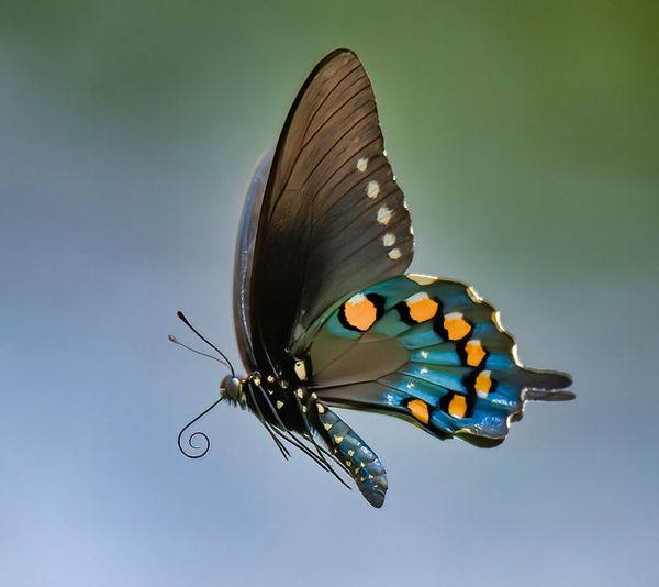 Pipevine Swallowtail...