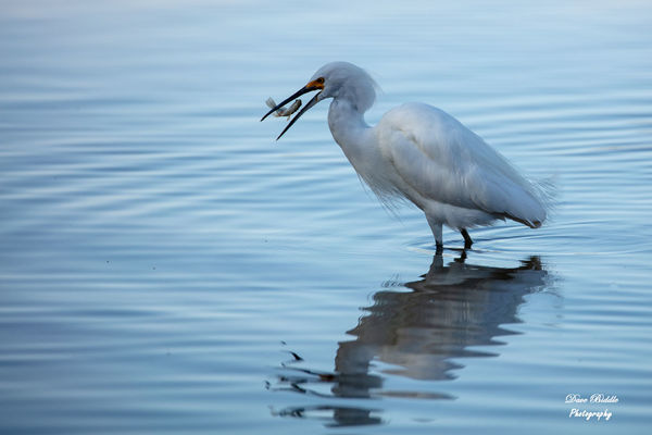 Snowy Egret tossing a fish! Lost it to a Coot!...