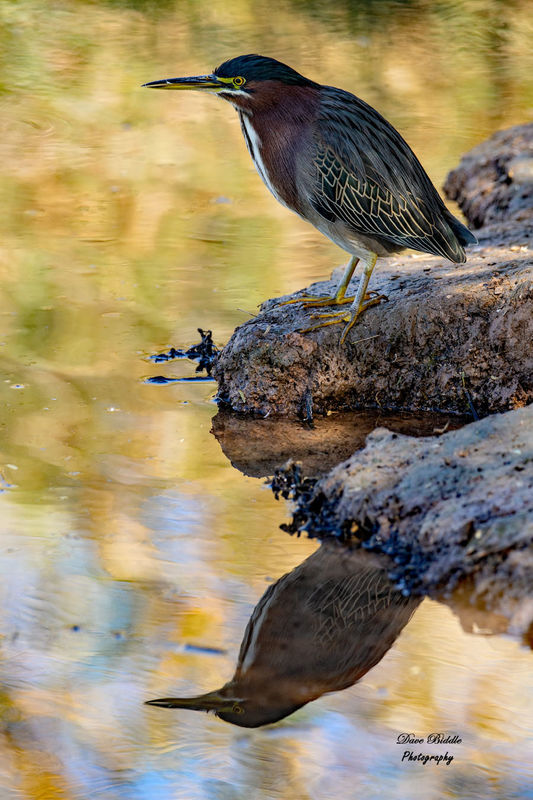 Green Heron waiting for school to get out!...