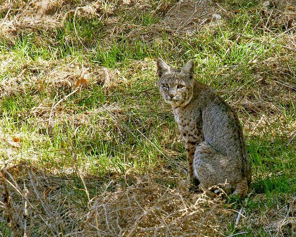 Bobcat Near Cabin...