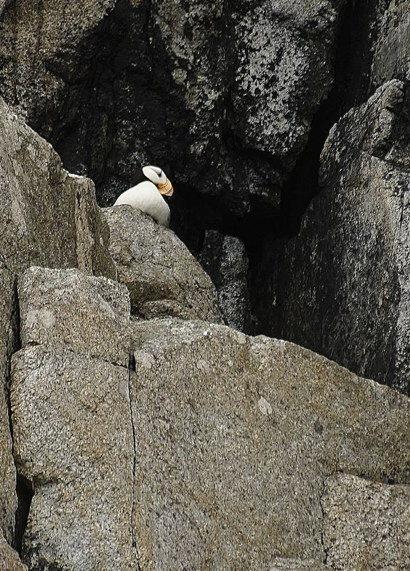 I'll have a puffin on the rocks....