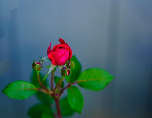 Backyard rose...