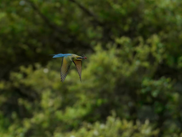 Blue Tailed Bee Eater...