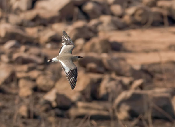 Common Pratincole - against a similar colored back...
