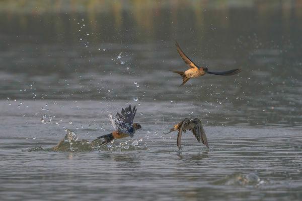 Streak Throated Swallows - morning dip....