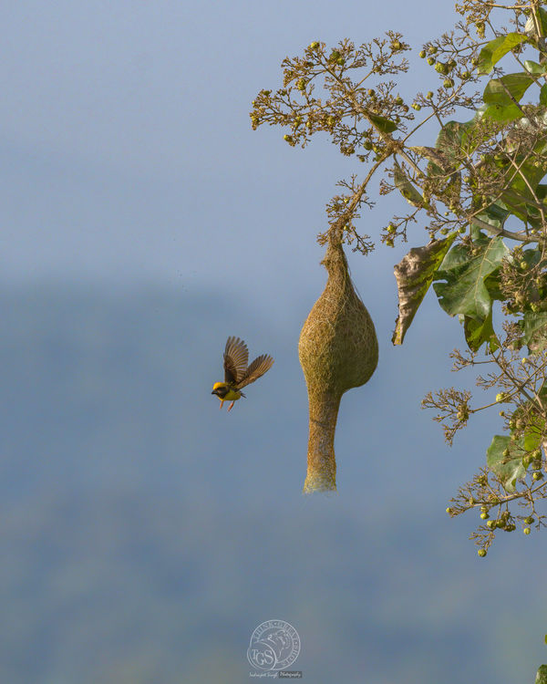 Baya Weaver Bird - with nest...