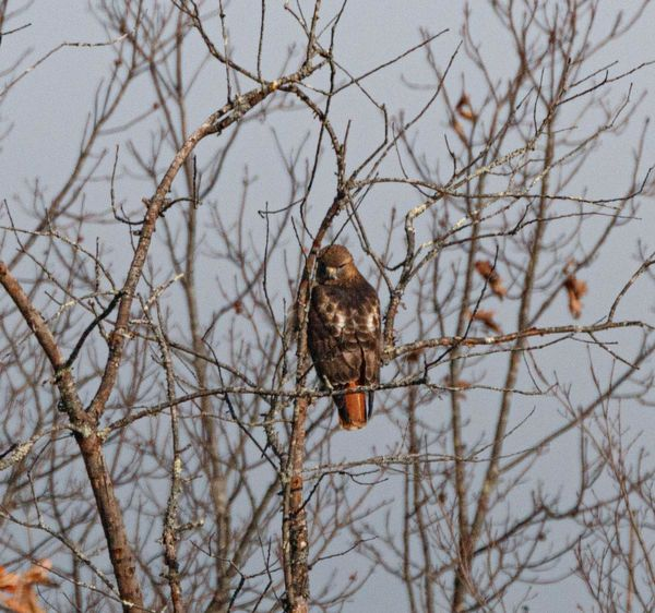 A Square-tailed (or is it red tailed) hawk...