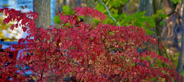 Fall fire bush-can you find the surprise visitor? ...