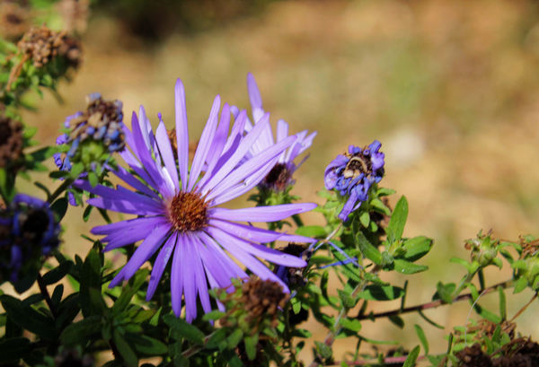 Aster...