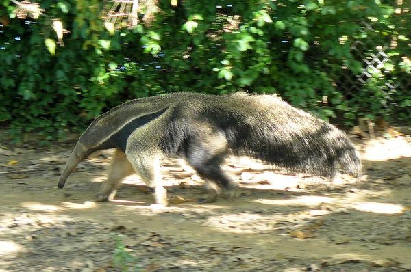 Anteater - L.R. Zoo...