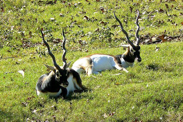 Antelope (Blackbuck)...