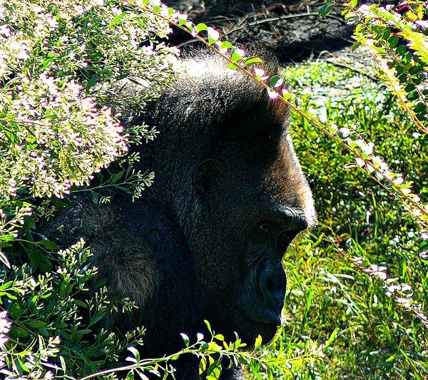 Ape - (Lowland Gorillla)...