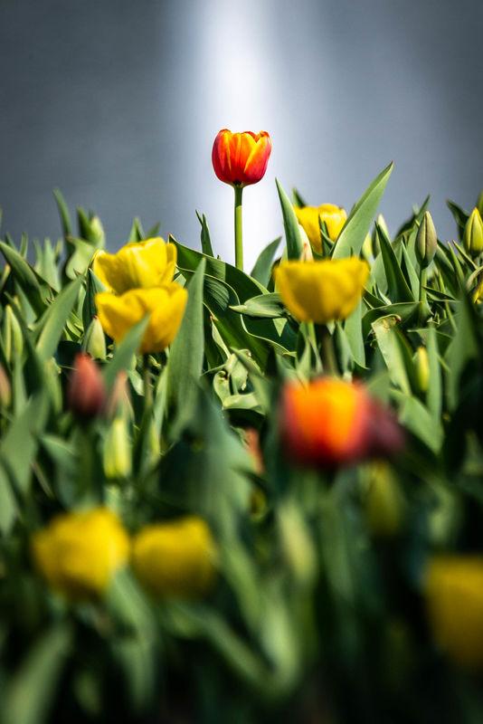 Lone tulip...