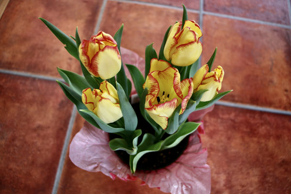 These tulips are very different colors than usual!...