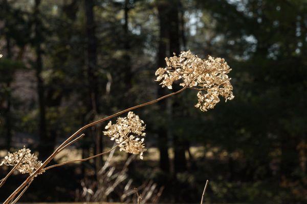 Last year's hydrangea blowing in the wind....