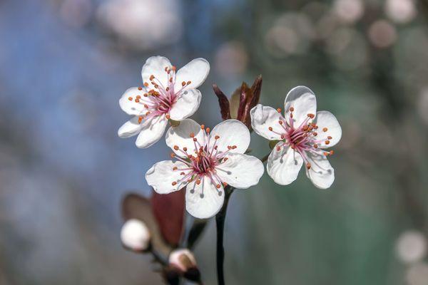 Sand cherry blossum....