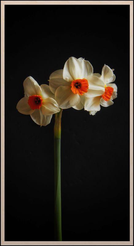 Narcissus...